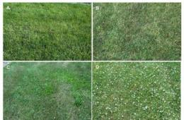 Turfgrass fertility, pesticide programs compared