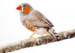 Tweet: Scientists decode songbird's genome