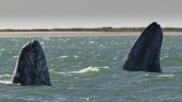 Two gray whales show their rostrums at the San Ignacio Lagoon, Mexico