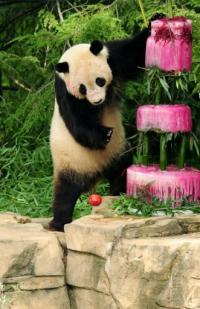 US-born Tai Shan will next week leave the National Zoo in Washington and head in grand style for a new life in China