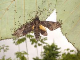 'Velcro' effect in Guianese ants
