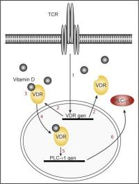 Vitamin D crucial to activating immune defenses