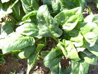 Want more efficient muscles? Eat your spinach