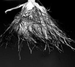 What secrets are stored in the roots of corn plants?