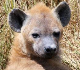Why are there no hyenas in Europe?