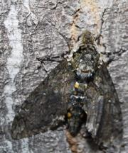 Why female moths are big and beautiful