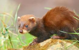 Wild ferrets are spreading throughout the island of La Palma