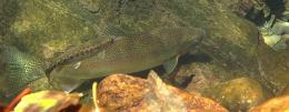 Wild rainbow trout critical to health of steelhead populations