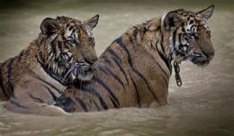 World Bank wants tiger farms shut (AP)
