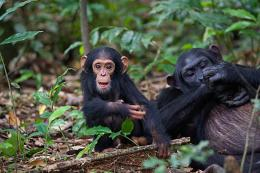 Young female chimpanzees appear to treat sticks as dolls